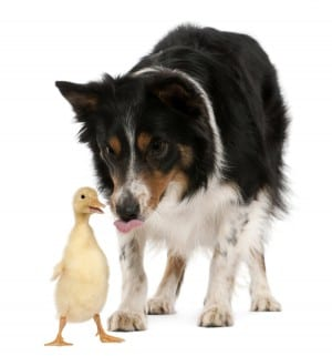 Female Border Collie, 3 years old, playing with duckling, 1 week old, in front of white background
