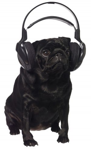 Black pug listening to music